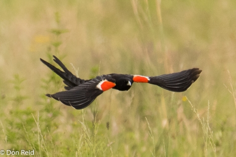 Long-tailed Widow in flight - what a beaut!