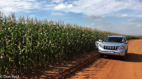 Mielies (corn) near Delmas, looking magnificent after good summer rains