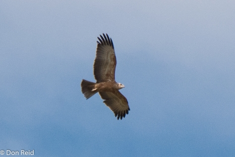 Common (Steppe) Buzzard (Bruinjakkalsvoel)