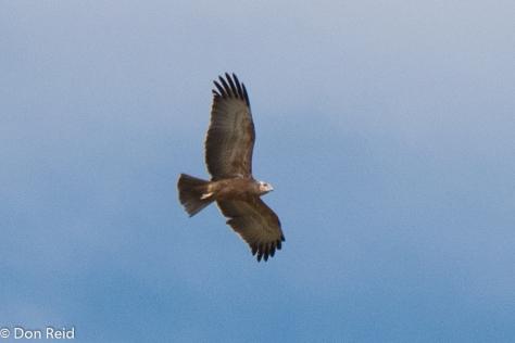 Common (Steppe) Buzzard (Bruinjakkalsvoel)