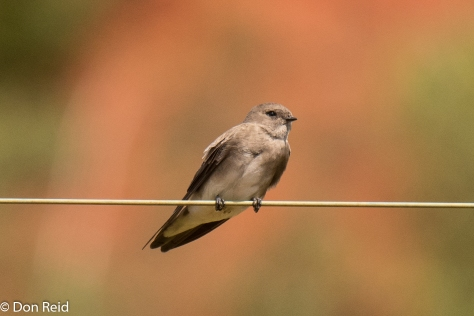 Brown-throated Martin (Afrikaanse oewerswael)