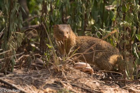 Slender Mongoose vs snake, Delmas area (Swartkwasmuishond)