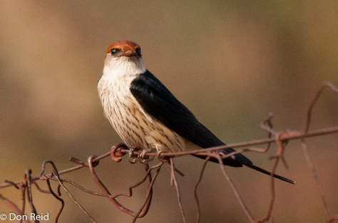 Greater Striped Swallow rootstreepswael)