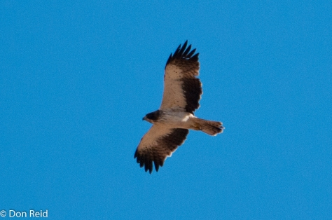 Booted Eagle, (Dwergarend)