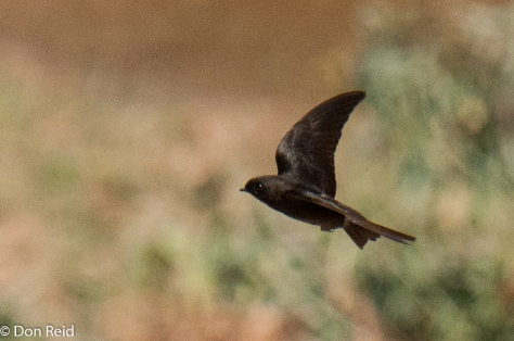 Black Saw-wing (Swartsaagvlerkswael)