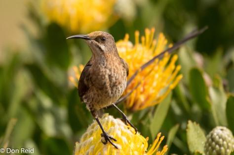 Cape Sugarbird (Kaapse Suikervoel)