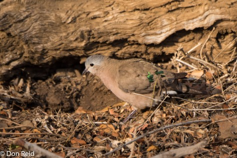 Emerald-spotted Wood-Dove (Groenvlekduif)