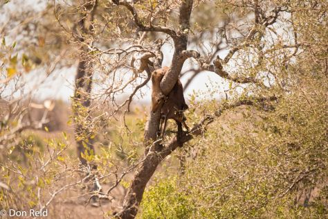 Leopard prey, KNP