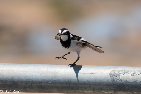 African Pied Wagtail, Olifants river bridge