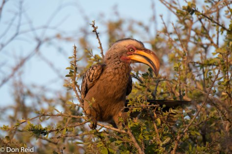 Yellow-billed Hornbill (After dust-bath), Olifants KNP