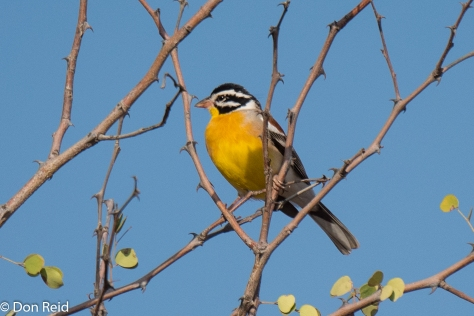 Golden-breasted Bunting (Rooirugstreepkoppie)