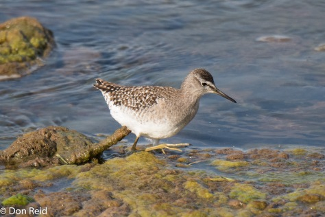 Wood Sandpiper (Bosruiter) Balule bridge