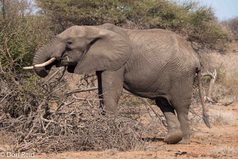 Elephant looking for edible foliage amongst the dry scrub