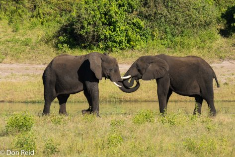 African Elephant, Game cruise Chobe