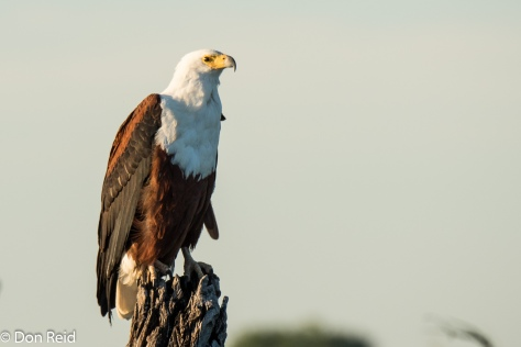 African Fish-Eagle, Game cruise Chobe