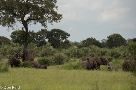 Elephant, Satara-Lower Sabie