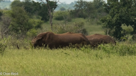 White Rhino, Satara-Lower Sabie