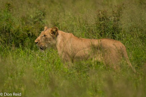 Lionesses, Satara-Lower Sabie