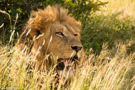 Lions, Phabeni area