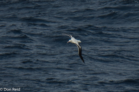 Wandering Albatross, Flock at Sea Cruise