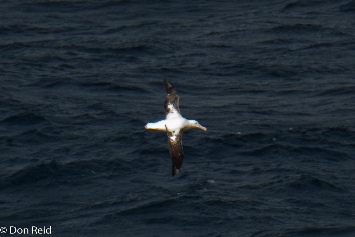 Wandering Albatross, Flock at Sea Cruise