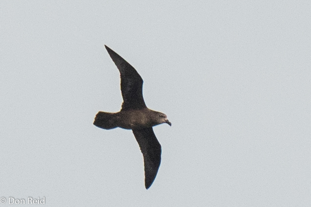 Great-winged Petrel, Flock at Sea Cruise