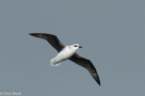 White-headed Petrel, Flock at Sea Cruise
