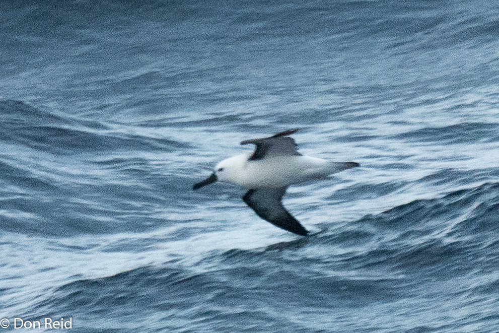Indian Yellow-nosed Albatross, Flock at Sea Cruise