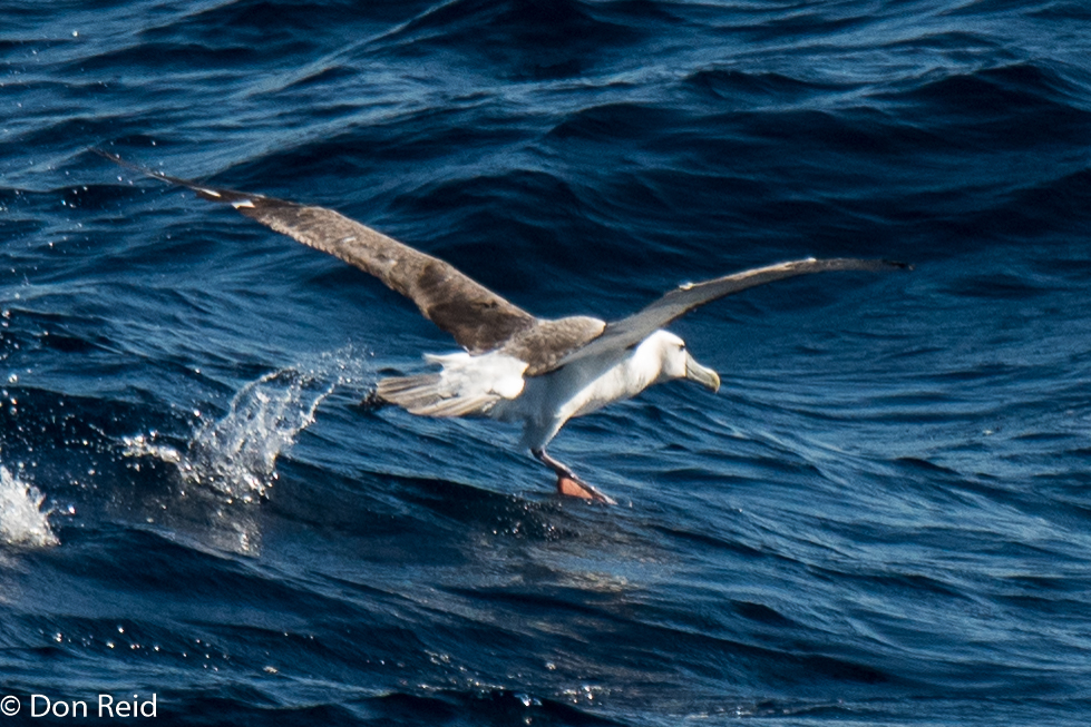 Shy Albatross, Flock at Sea Cruise