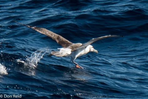 Shy Albatross, Flock at Sea Cruise