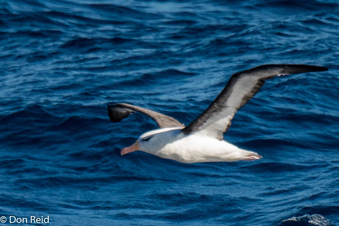 Black-browed Albatross, Flock at Sea Cruise