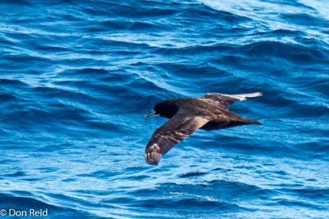White-chinned Petrel, Flock at Sea Cruise