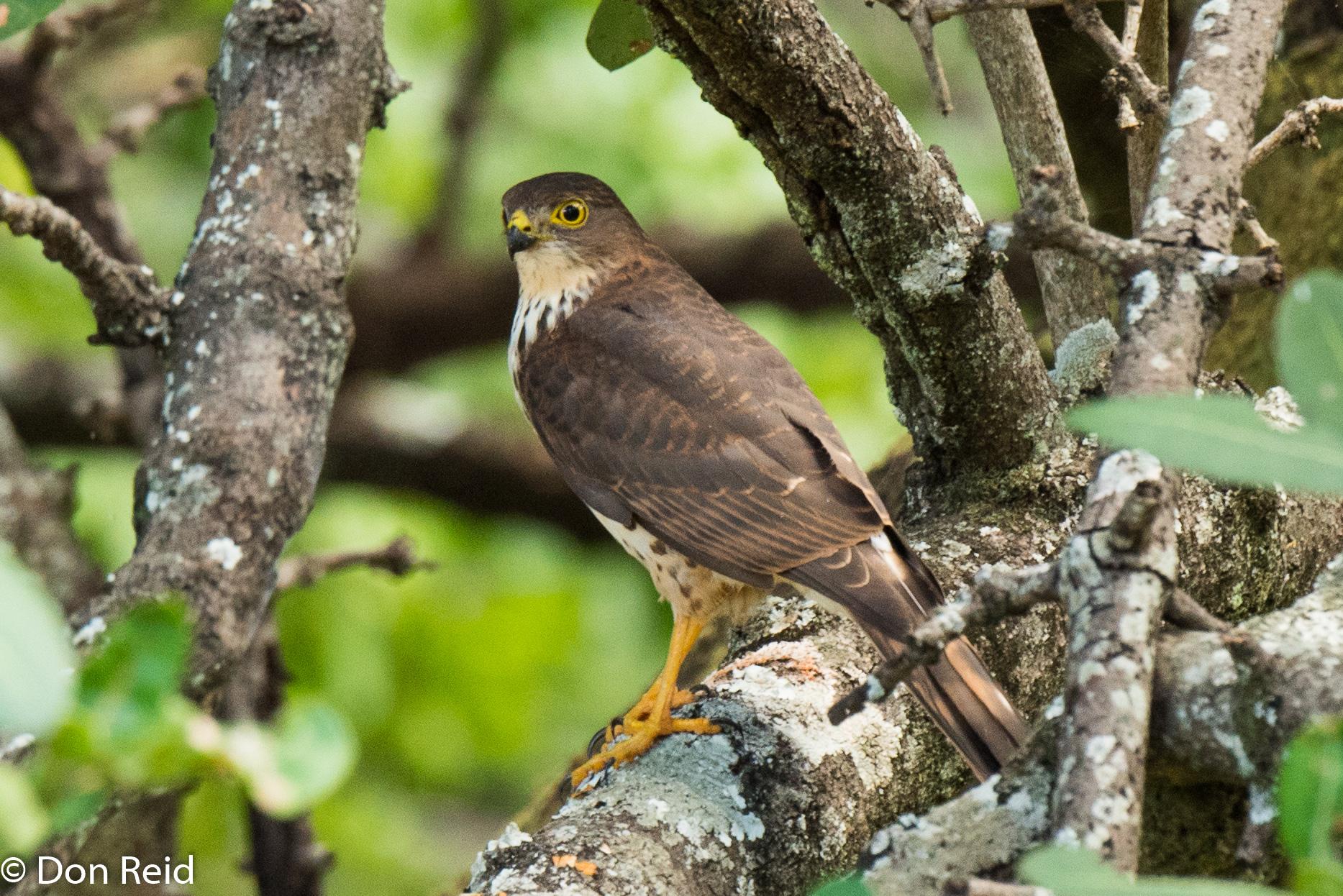 Little Sparrowhawk (Juvenile), Chobe Safari Lodge