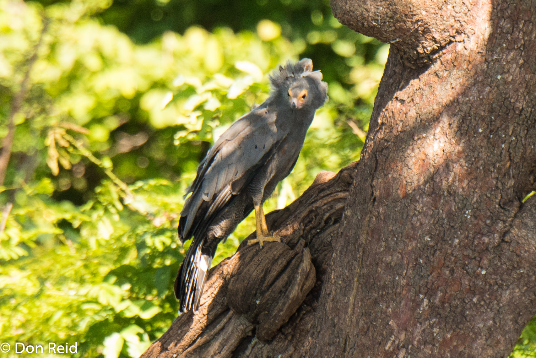 African Harrier-Hawk, Game cruise Chobe