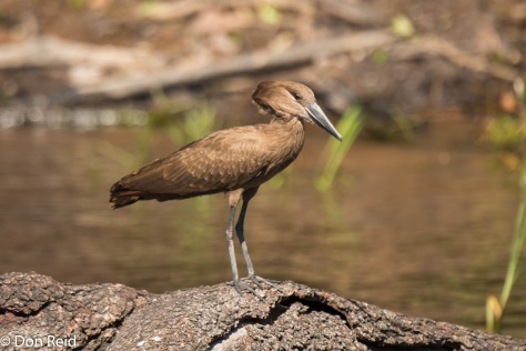 Hamerkop, Game cruise Chobe