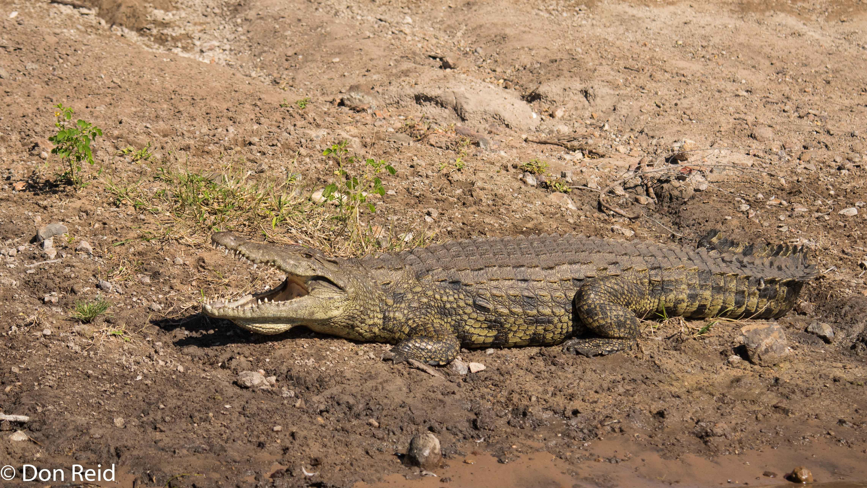 Crocodile, Game cruise Chobe