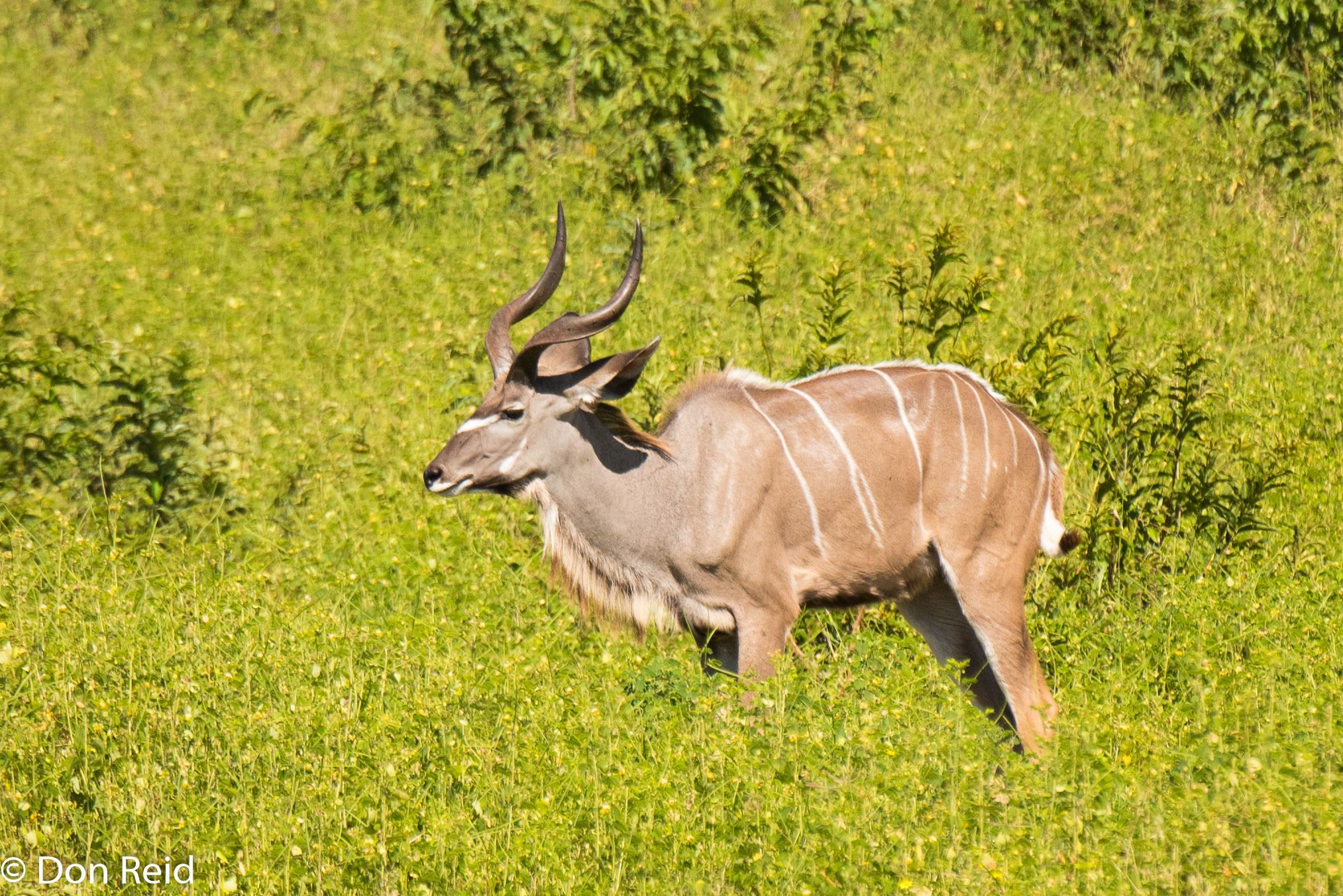 Kudu, Game cruise Chobe