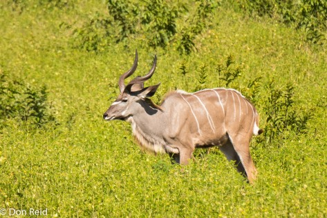 Kudu, Game cruise Chobe