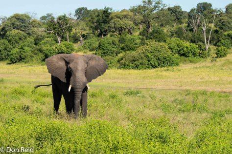 African Elephant, Game cruise Chobe