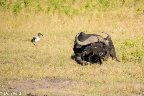 Buffalo, Game cruise Chobe