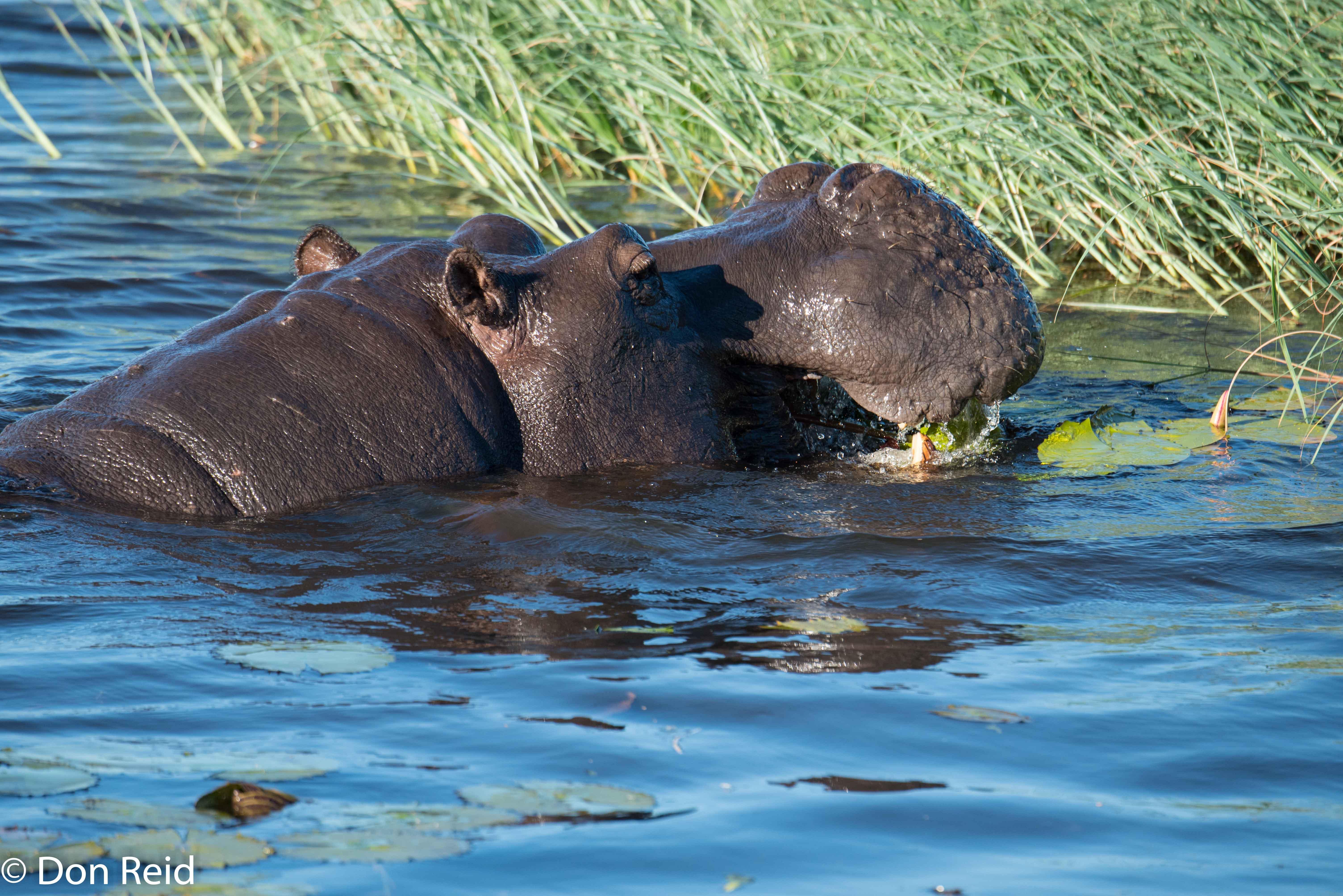 Hippo, Game cruise Chobe