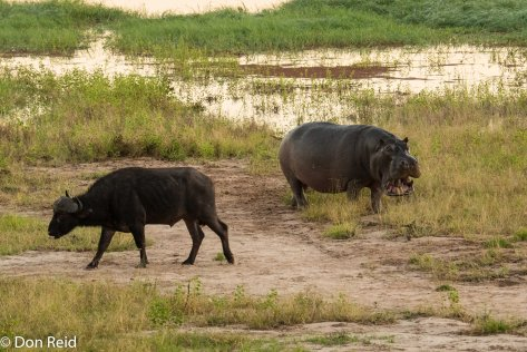 Hippo meets Buffalo, Chobe game drive
