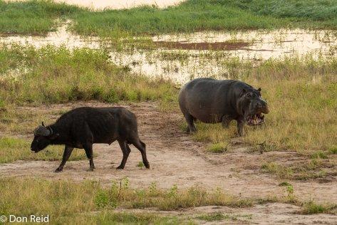 Hippo meets Buffalo, Chobe game drive