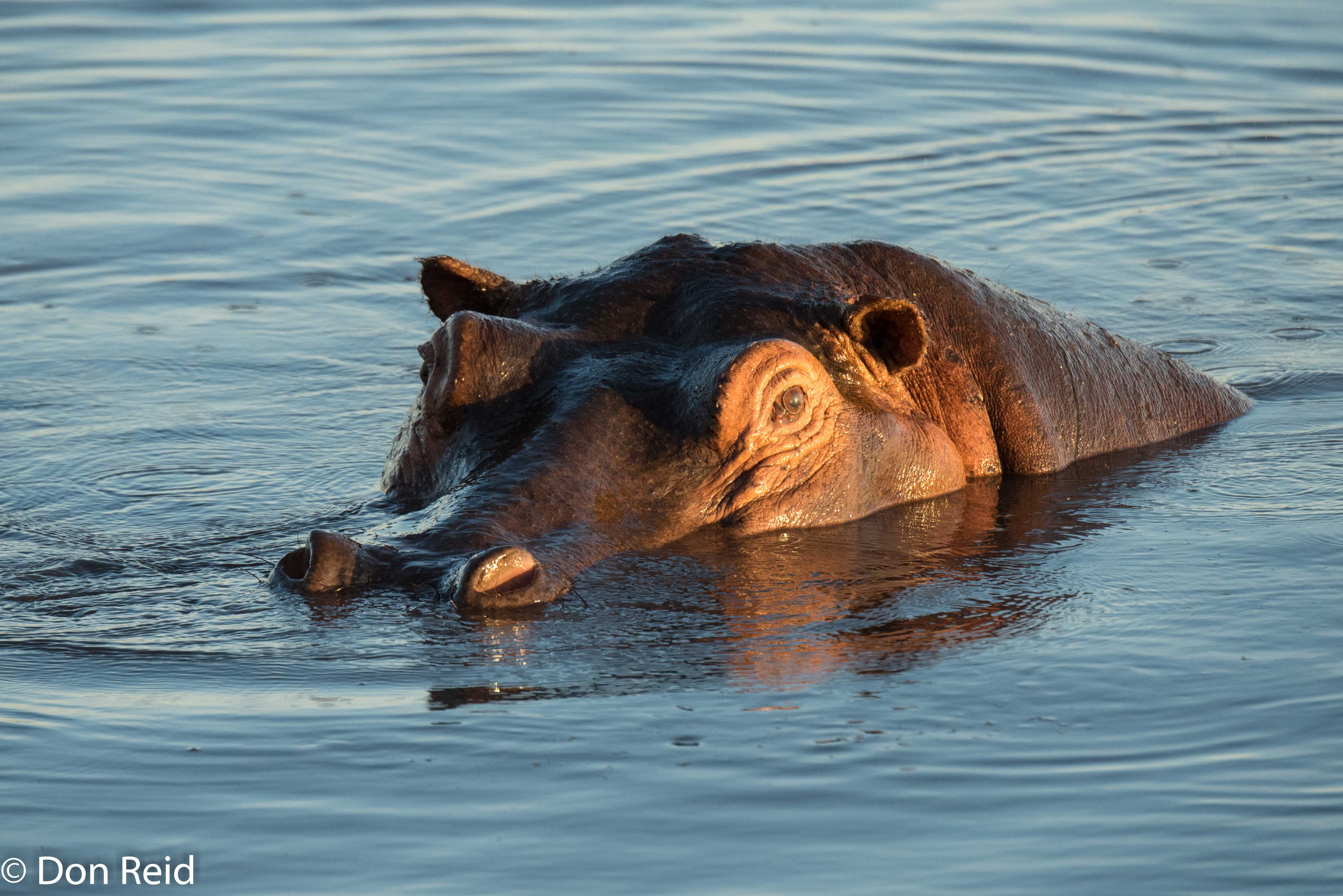 Hippo, Chobe game drive