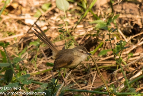 Tawny-flanked Prinia, Pigeon Valley Durban
