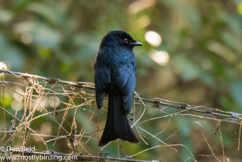 Fork-tailed Drongo, Pigeon Valley Durban