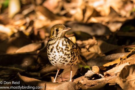 Spotted Ground Thrush, Pigeon Valley Durban