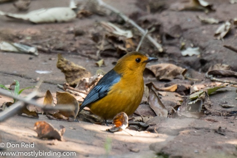 Red-capped Robin-Chat, Pigeon Valley Durban