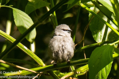 Grey Waxbill, Pigeon Valley Durban