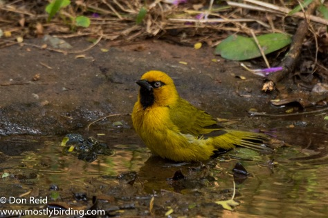 Spectacled Weaver, Pigeon Valley Durban